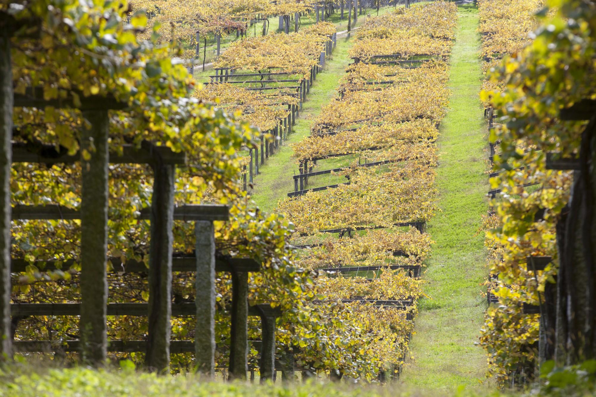 D O Rias Baixas Oto Vineyards