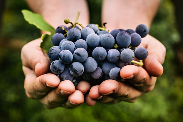 Hands Holding Grapes for Organic Wine